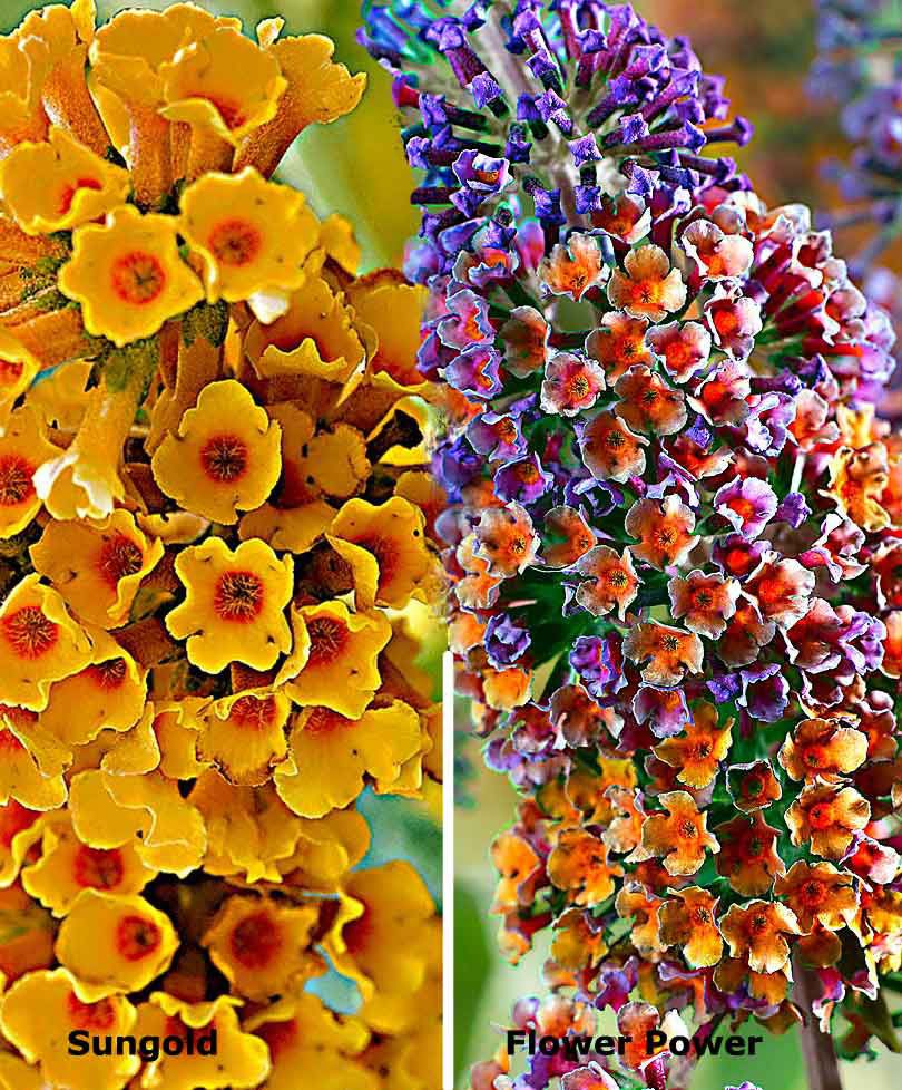 Buddleias Sungold Buddleja X Weyeriana And Buddleja Davidii Flower Power Plant Flower Bulbs Bulb Flowers Butterfly Bush