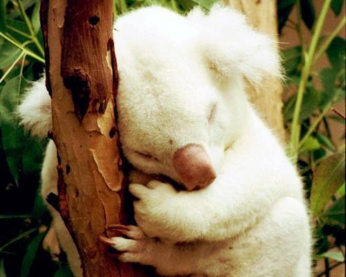 "This rare albino koala was born in 1997 in the San Diego Zoo. His name, Onya-Birri, means ""ghost boy"" in the Aborigine language."