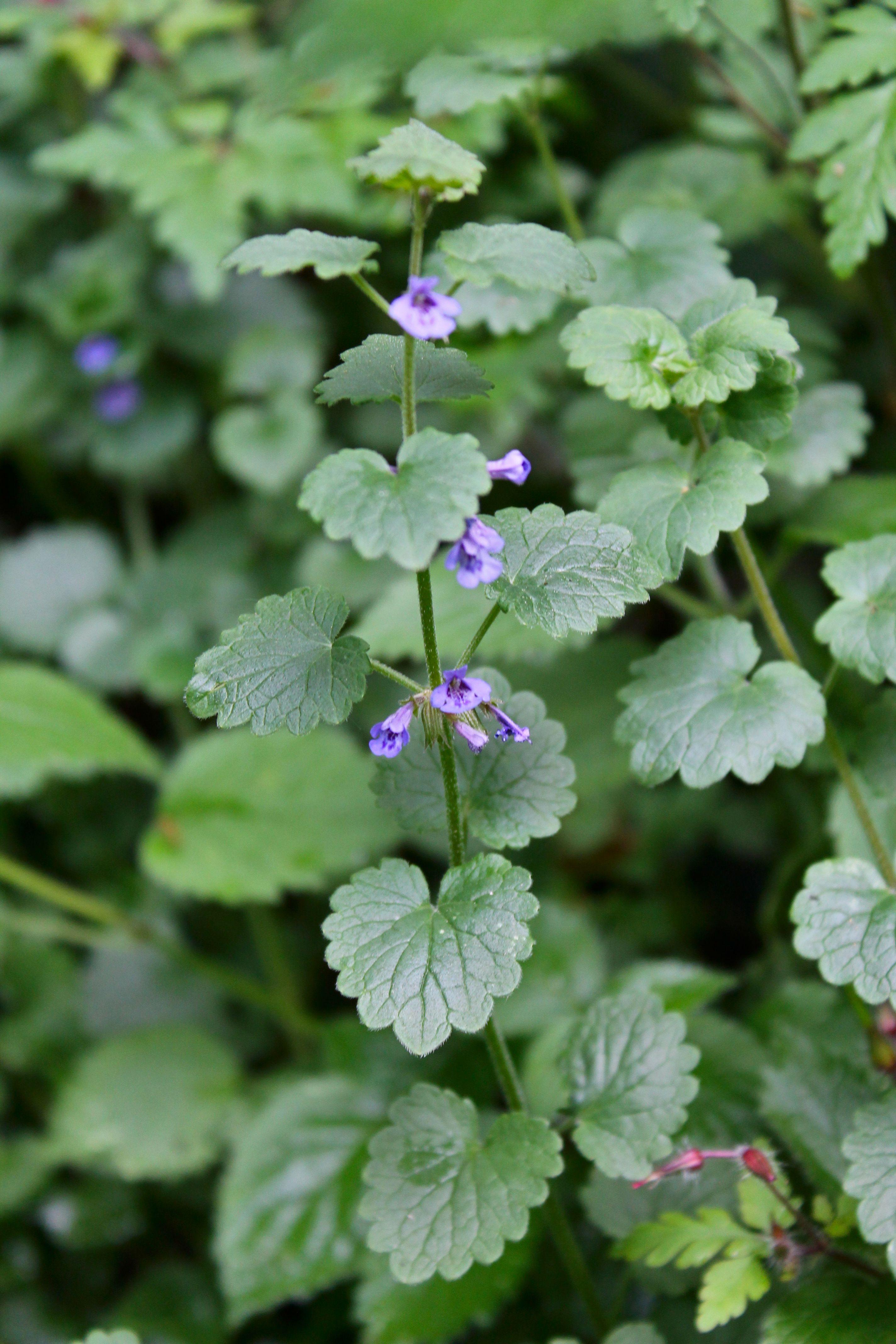 Super Essbare Wildpflanze: Gundermann | Garten | Kräuter, Gesunde &SG_59