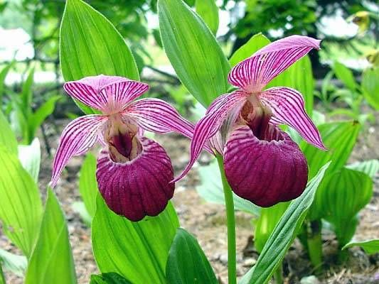 Hardy Native Orchids For Sale Cypripediums Perennials Ohio Roberts Flower Supply Flower Supplies Orchids Orchid Flower