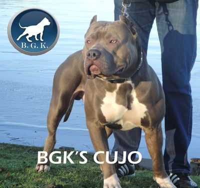 Best Xl Bully Pitbulls For Sale Pitbulls American Pitbull Terrier American Bully