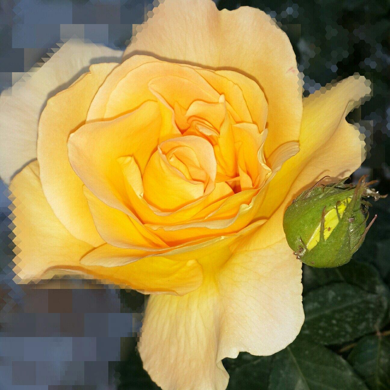الجمال بأبهى لون Flowers Plants Rose