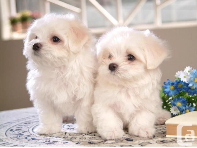 Puppies For Sale Akc Bichon Frise Puppies For Sale In Calgary