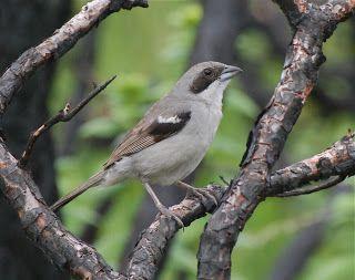 Shrike-Like Tanager