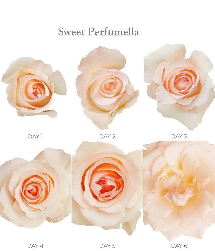 Wedding anniversary decoration ideas at home  Garden Rose Peach  EbloomsDirect peoniespeachroses Promo