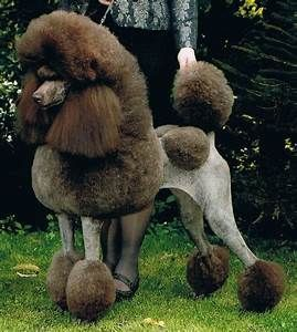 Show Poodle Images Yahoo Image Search Results Dogs Poodle