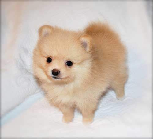 Baby Pomeranian Puppy images | Puppies | Pinterest | Baby ...