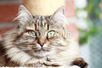 female of siberian cat, tricolor brown