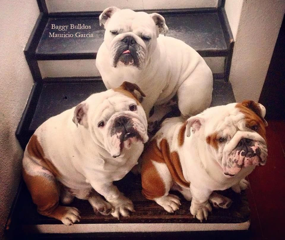 Baggy Bulldogs Bulldogge