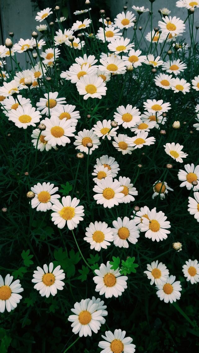 My kind of aesthetic 😍 spring Wallpaper, Daisy
