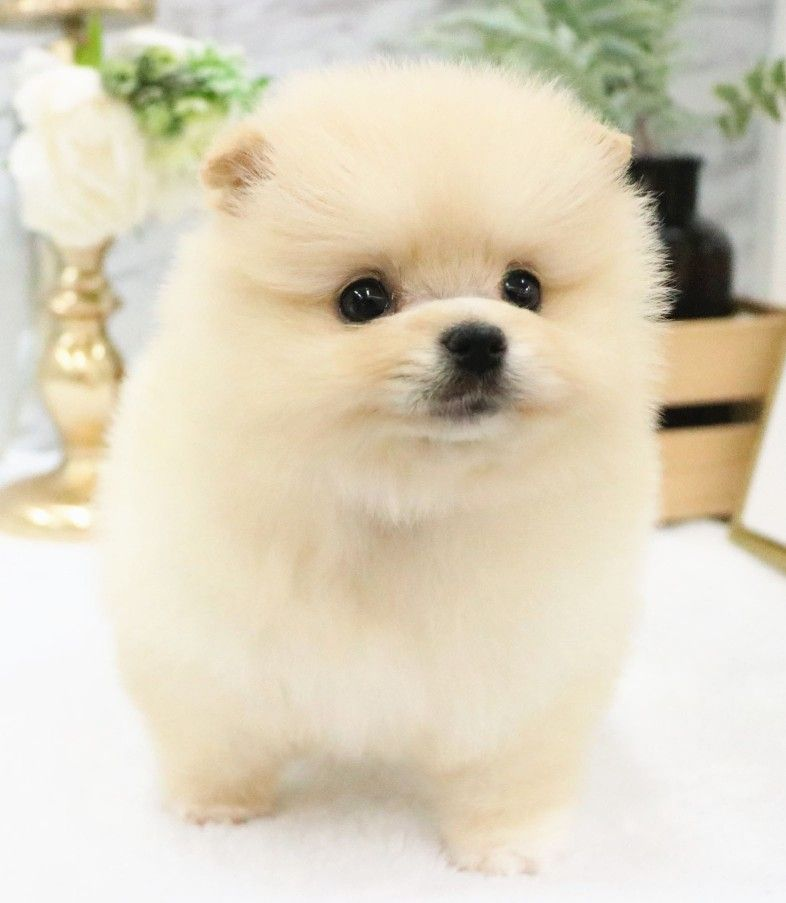 Pin by michelle mainoni on pomeranians animals dogs teddy