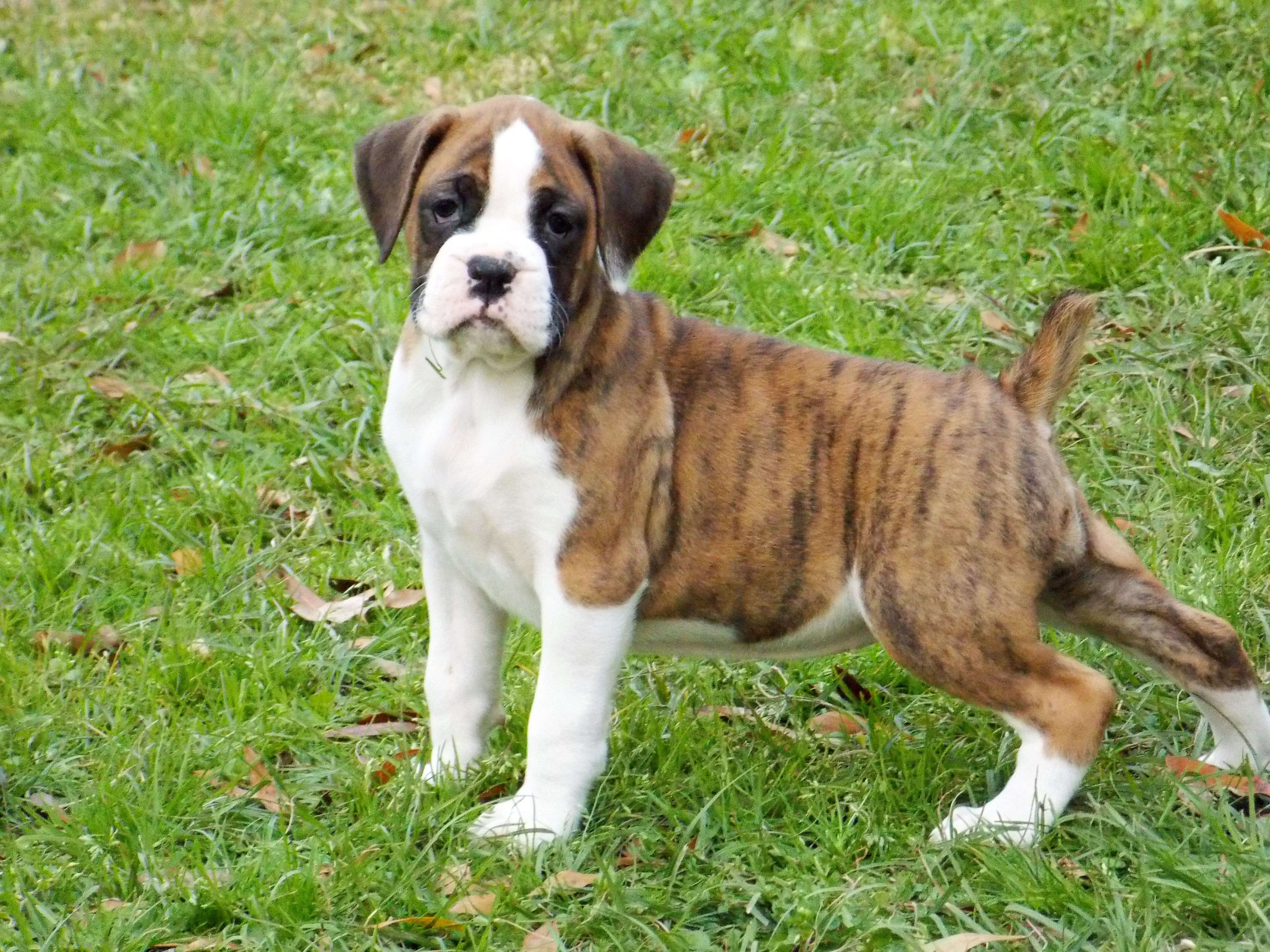 Akc Boxer Puppies For Sale American Boxer Puppies Boxerpuppies Boxer Puppies Boxer Puppies For Sale Boxer Puppy