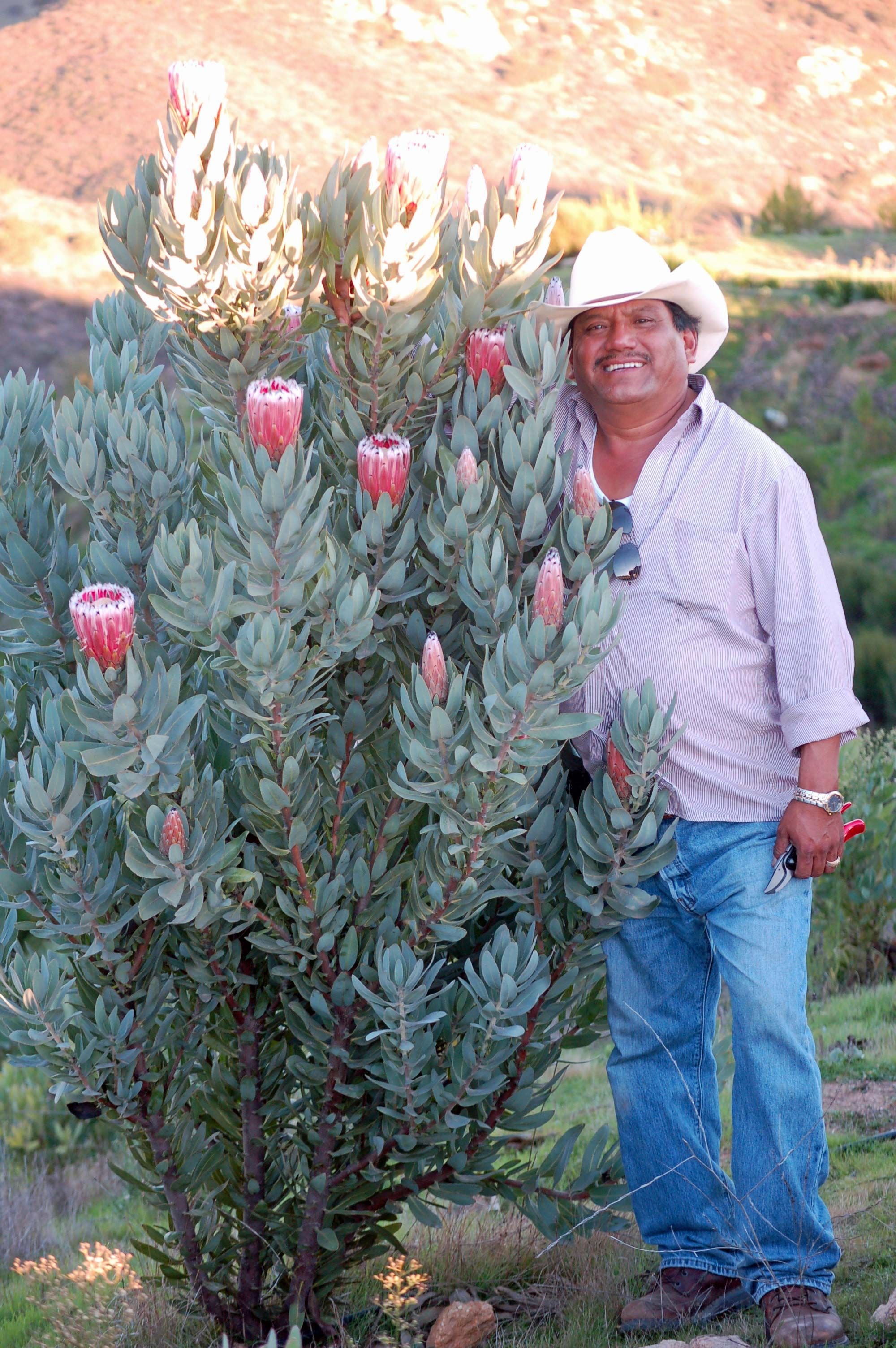 Protea Silver Tip Resendizbrothers Com Australian Garden Design Australian Native Garden Protea Plant