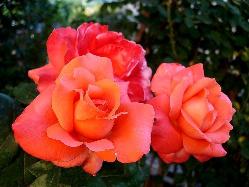'Ave Maria ' Rose Photo