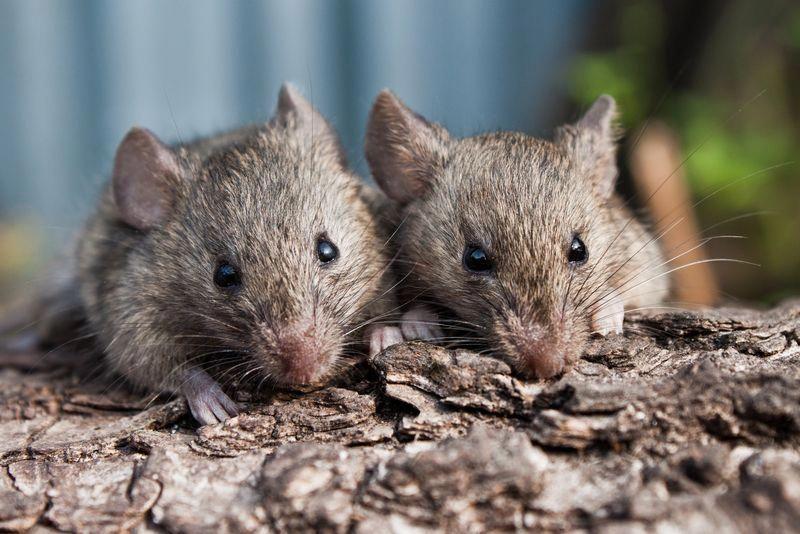 Mice carry #diseases, including #hantavirus, #lymphocytic ...