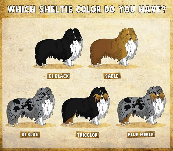 shetland sheepdog colors merle - Google Search | Puppy Love | Pinterest