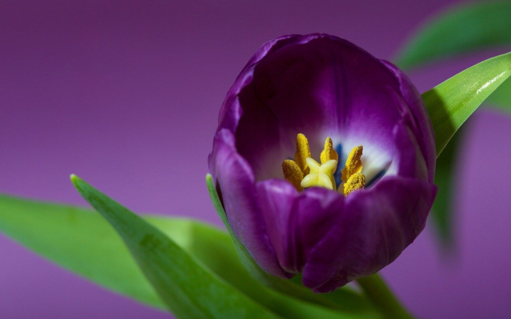 Purple Tulip Flowers Images And Wallpapers Download