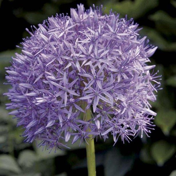 Allium Globemaster | Jardin mi-ombre, lisière | Pinterest | Fleurs ...