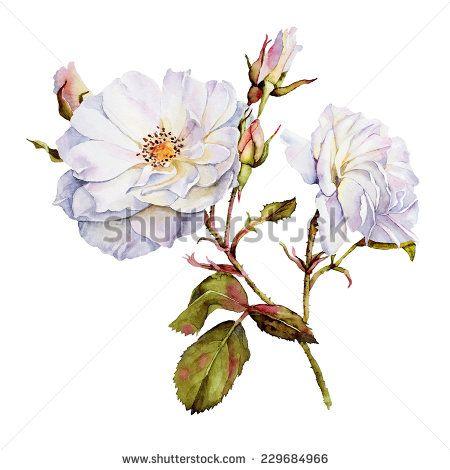 white roses bush botanical watercolor drawing blooming roses