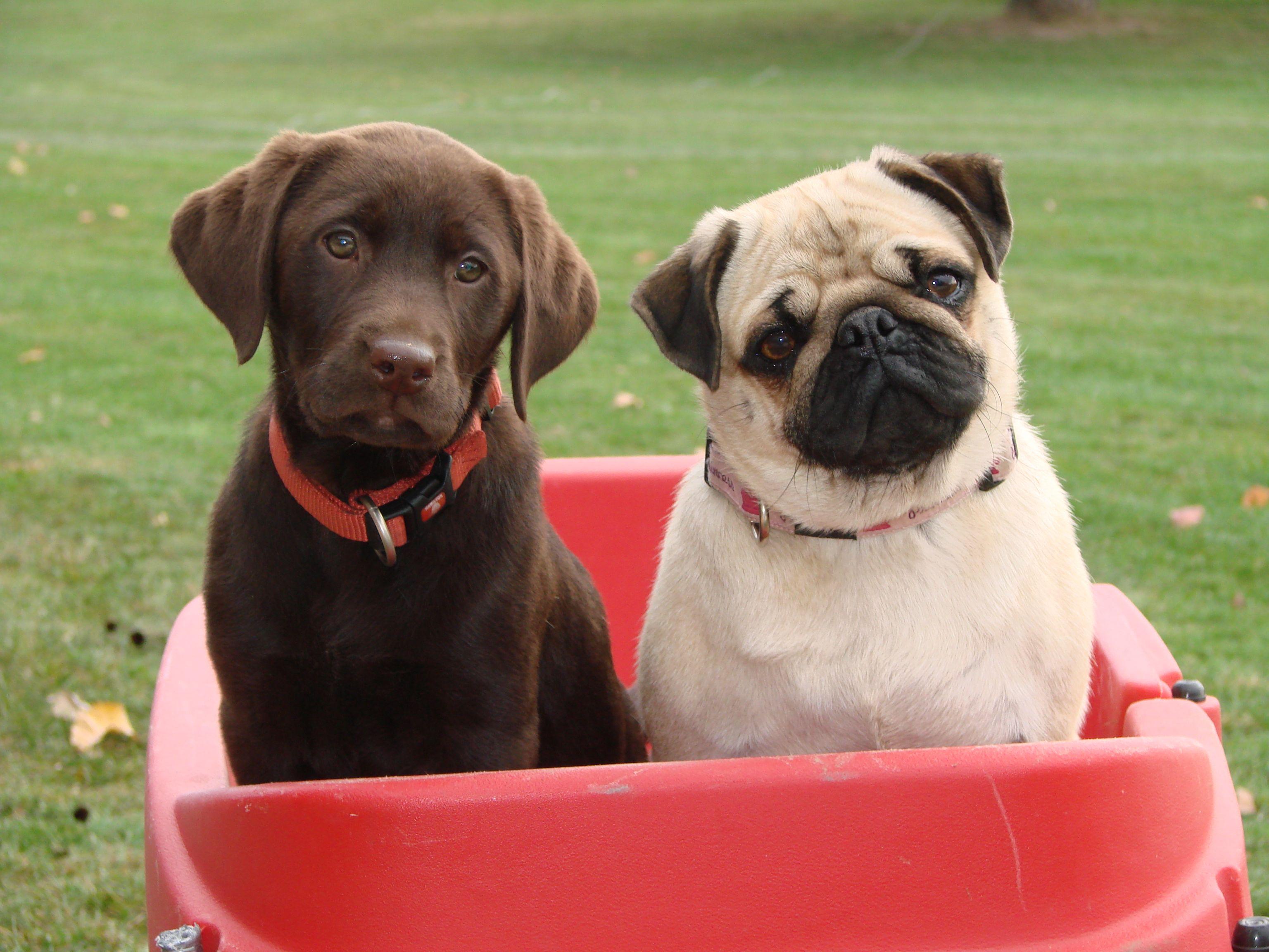 Chocolate Lab Pug My Grand Dogs Mya N Ruby Grand Dog