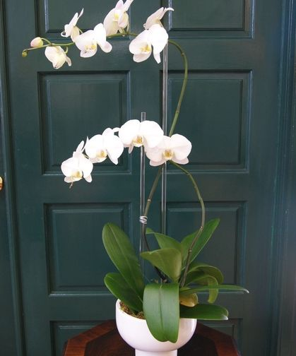 Double Orchid Plant Compote Vase Orchid Delivery Best Flower Delivery Orchid Plants