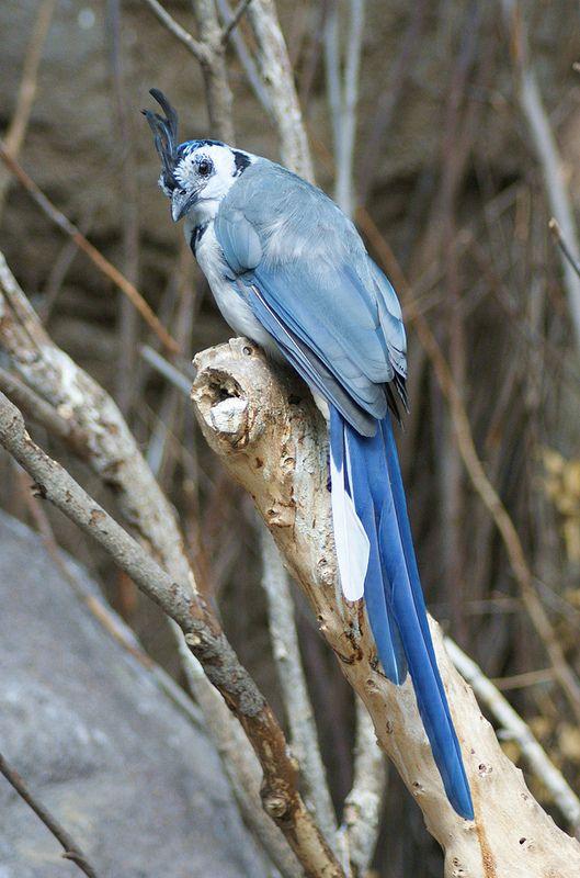 Black-throated Magpie-Jay (Calocitta colliei), Diergaarde Blijdorp