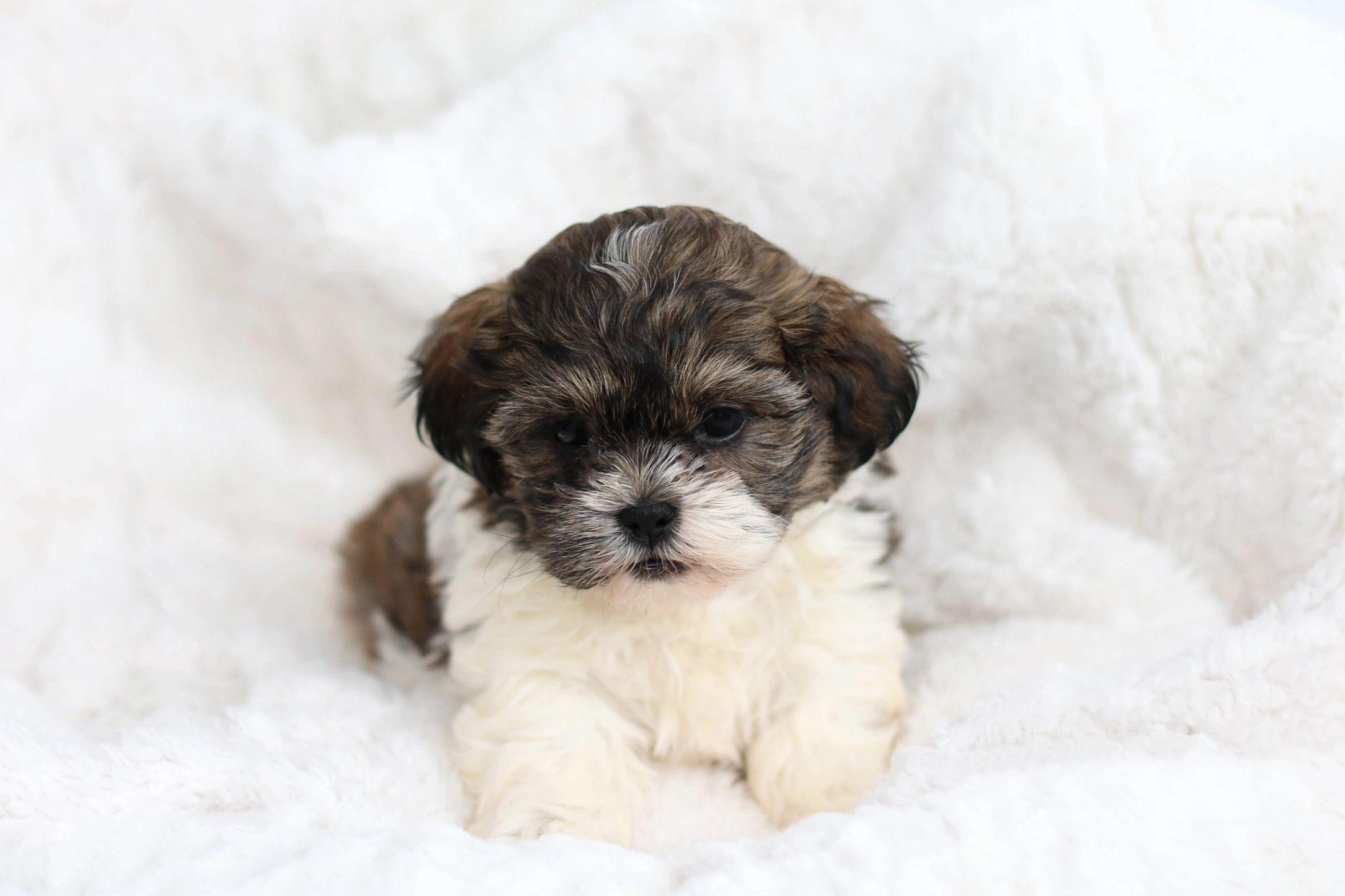 Teddy Bear Shichon Puppies For Sale Stonyridge Puppies Teddy Bear Shichon Puppies For Sale S In 2020 Zuchon Puppies For Sale Teddy Bear Puppies Puppies For Sale