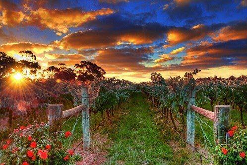 Sunset Vineyard, Australia