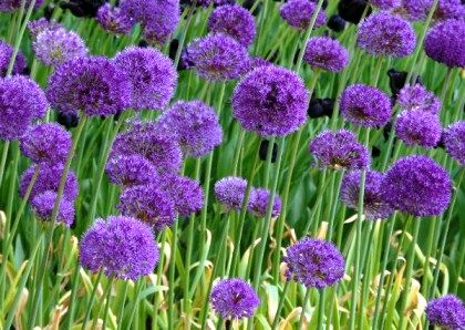 Allium Daffodil Bulbs Allium Flowers Beautiful Flowers