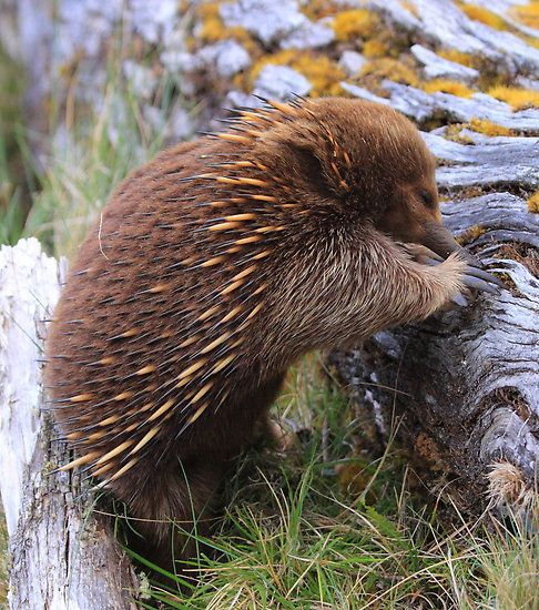Tasmanian Echidna What An Awesome Animal We Re A Lot Alike Our Names Start With An E And We Both Have Echidna Unusual Animals Australian Native Animals