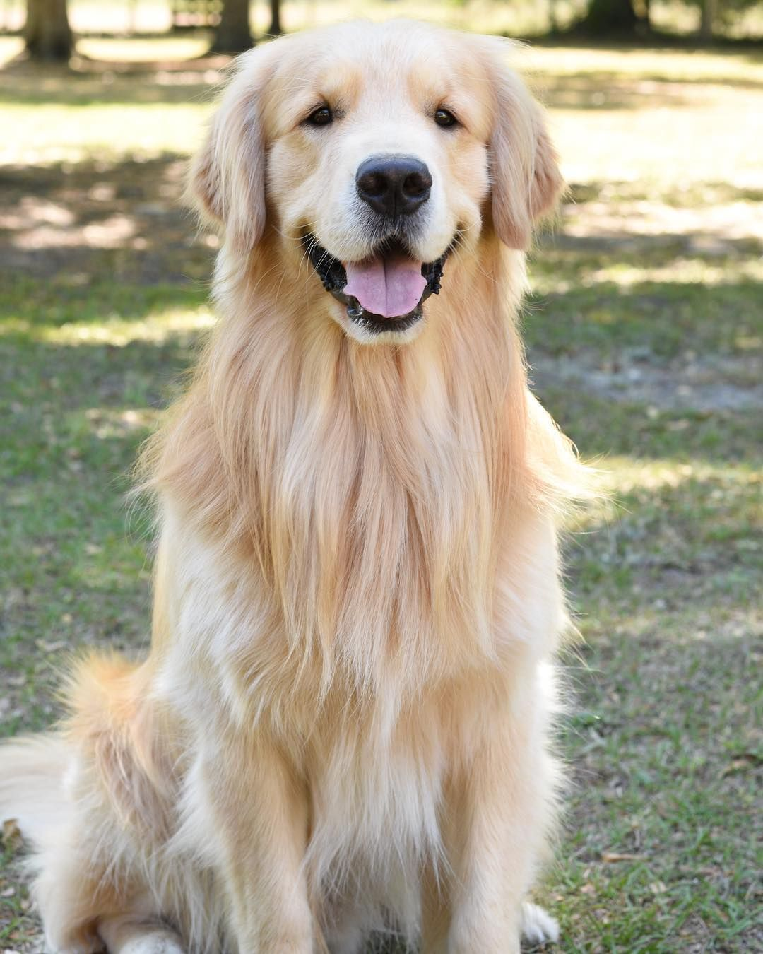 Kono Dogs Golden Retriever Pure Breed Dogs