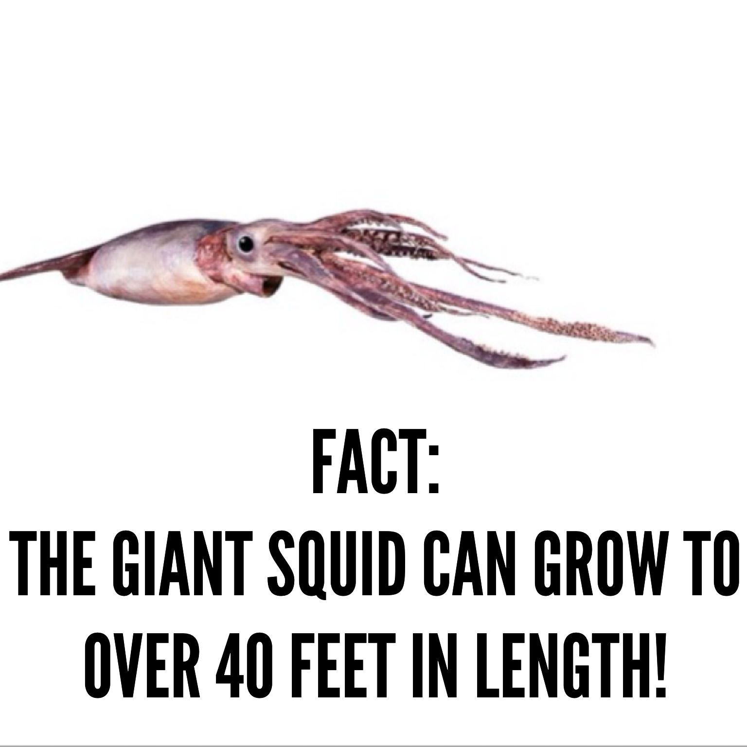 See A Giant Squid And Learn More Facts At Animal Inside