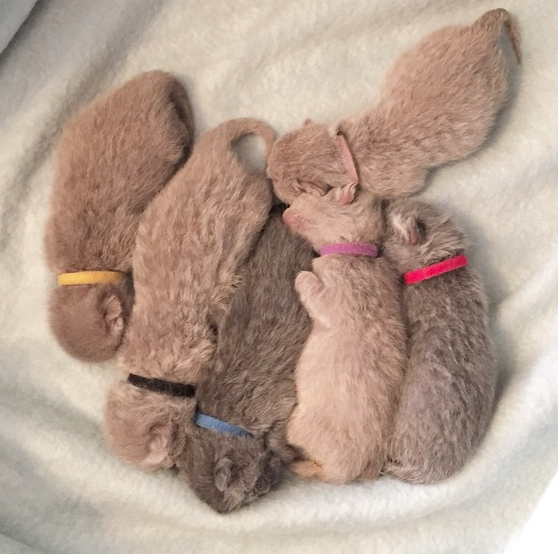 Sweet Cinnamon Fawn And Lilac Tone Babies Cute Animals Cats And Kittens British Shorthair Cats