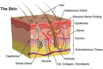 Biology: The Skin - Anatomy Diagram | Skin anatomy, Subcutaneous tissue,  Integumentary systemPinterest