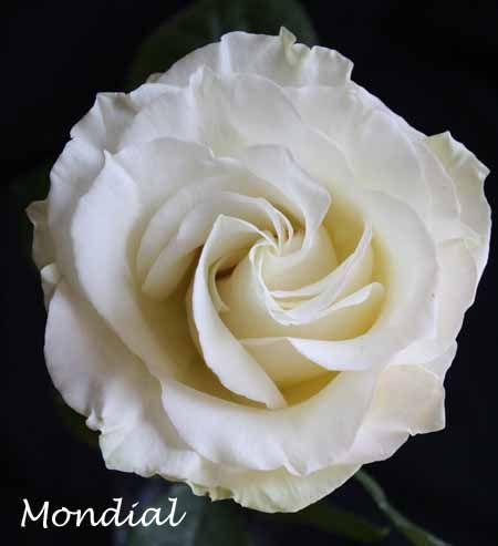 82759b1db684 White Mondial Rose