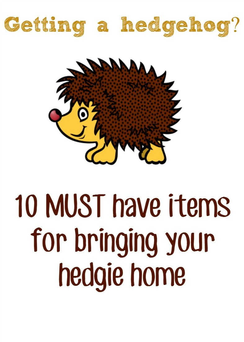 Pygmy Hedgehog Pet Must Have Items Pygmy Hedgehog Hedgehog Pet Baby Hedgehog