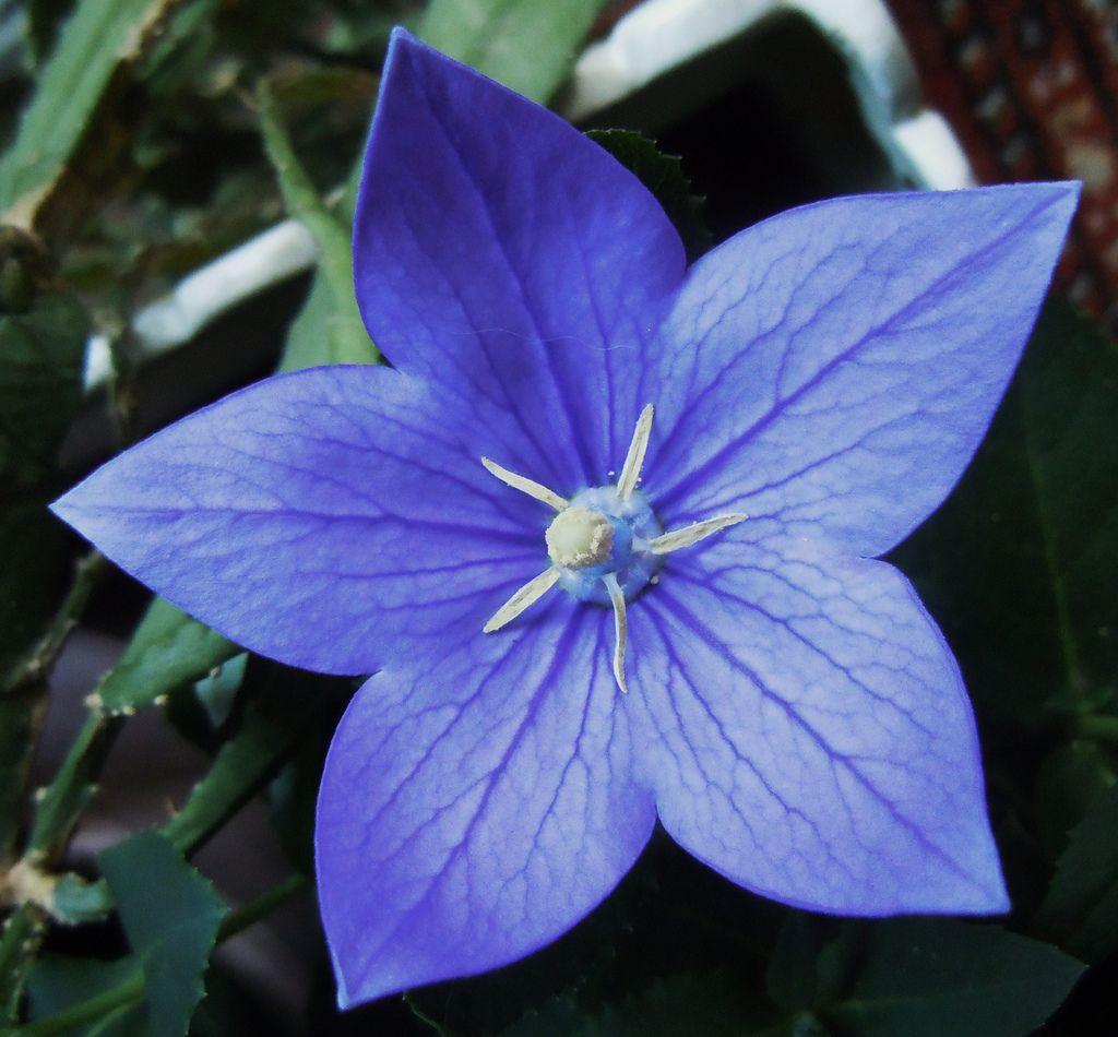 La campanilla china, el pentágono presente en la botánica.   Matemolivares