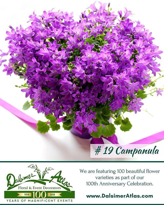 Campanula! Its flower meaning is Gratitude, or Faith and