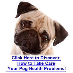 Health Problems With Pugs That Are Common Within The Breed Pugs