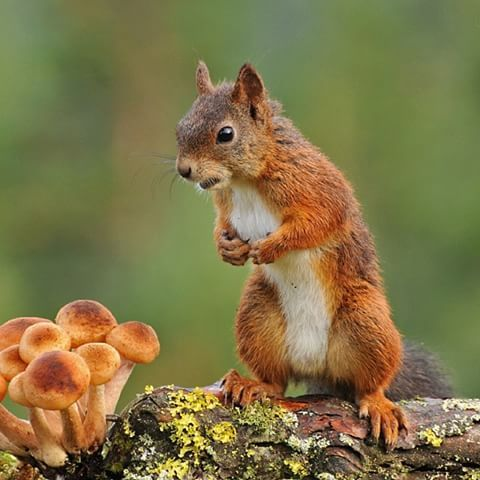 Squirrelushrooms By Odd E Kjølstad Squirrels Don T Only Eat Seeds And Nuts They Also Most Types Of Mushrooms Even Those Whom Are Toxic For