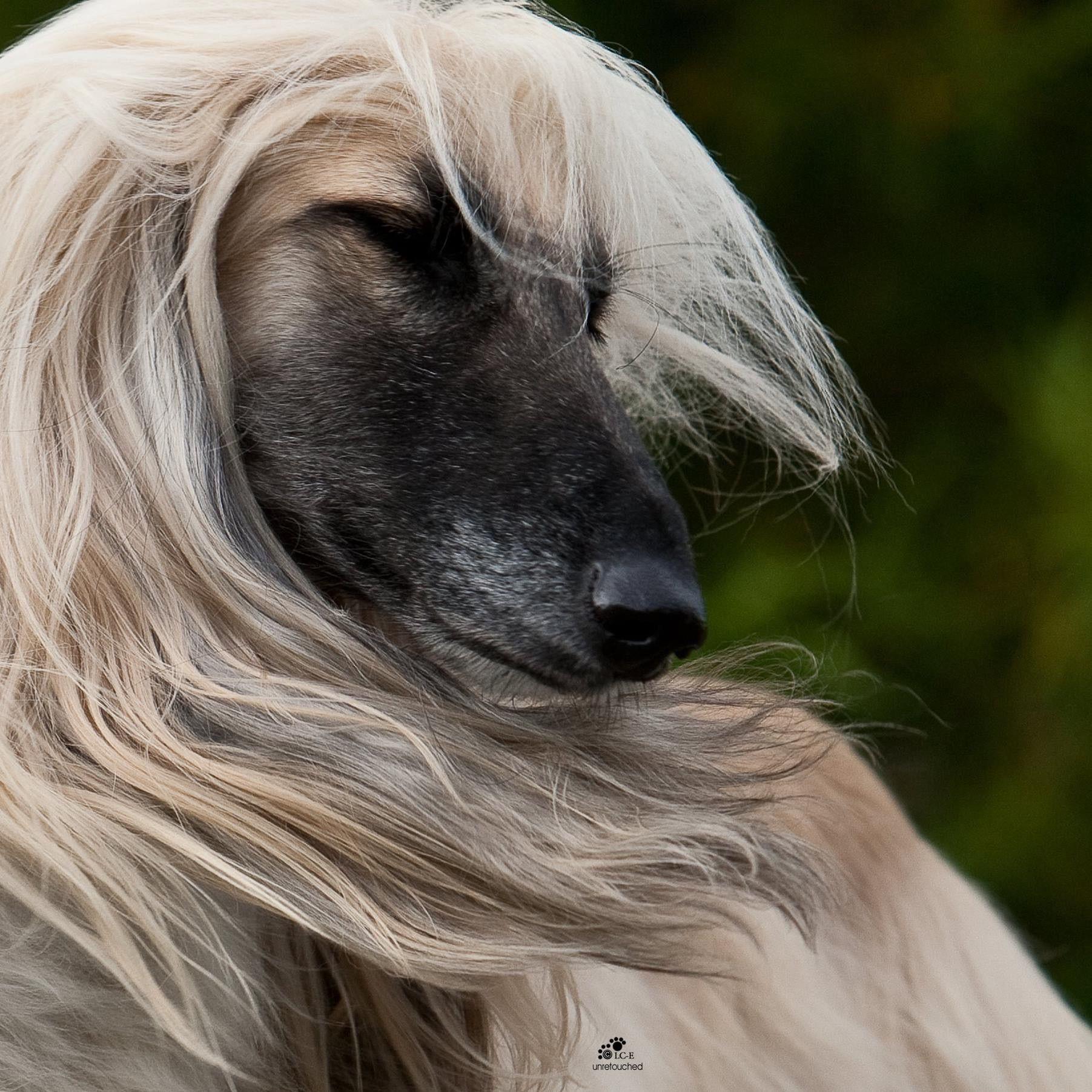 собаки с длинными мордами картинки распространения этих данных
