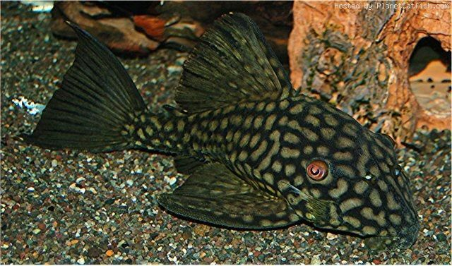 A Guide For Purchasing Plecos And Other Loricariids Beautiful Fish Fish Pet Freshwater Aquarium