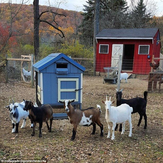 Starting point: Her goat collection, pictured, started after she visited a farm…