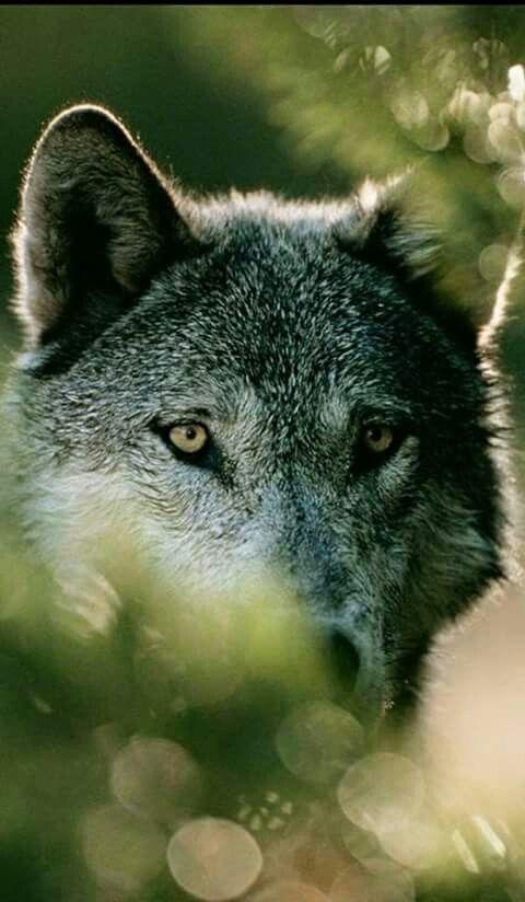 картинки волков самые лучшие этот