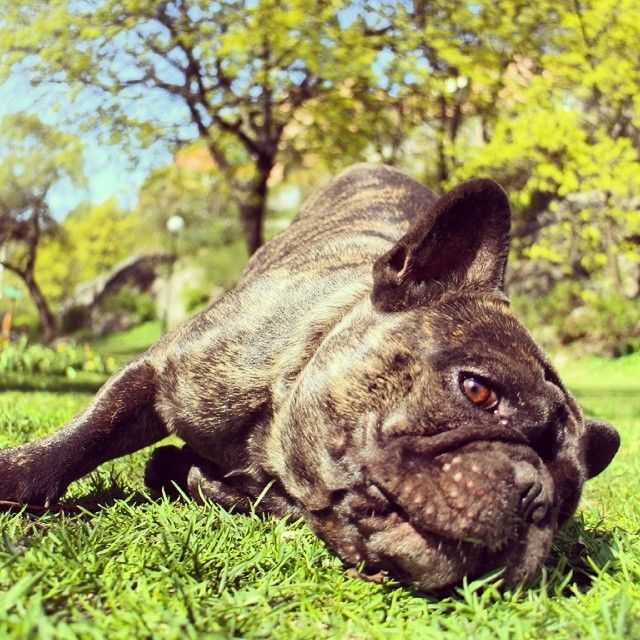 Tumblr For The Love Of Frenchies Dogs French Bulldog Animals