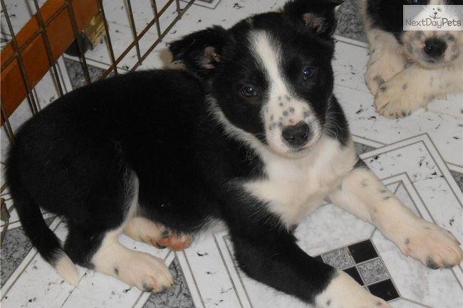 Border Collie Puppies Illinois Zoe Fans Blog Cute Baby Animals