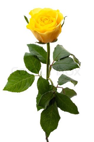 Image Of Single Yellow Rose With Images Yellow Rose Tattoos
