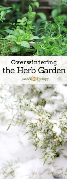 Photo of Learn How to Overwinter Herbs and Keep them Happy All Year – Garden Therapy