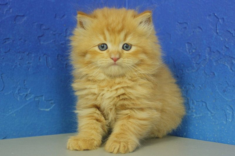 Red Tabby Solid Ragamuffin Kitten