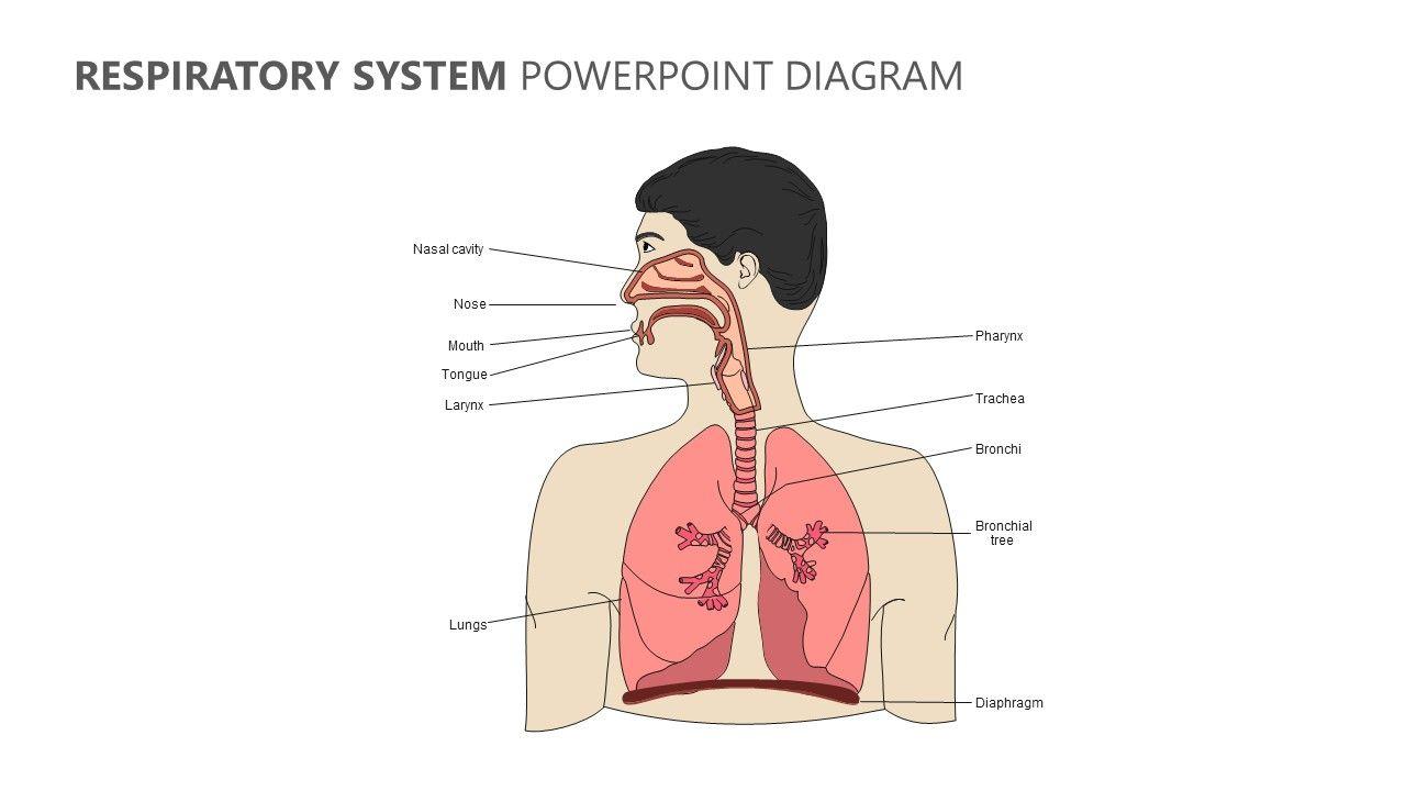 Respiratory System Powerpoint Diagram Respiratory System Human Respiratory System Respiratory System Anatomy